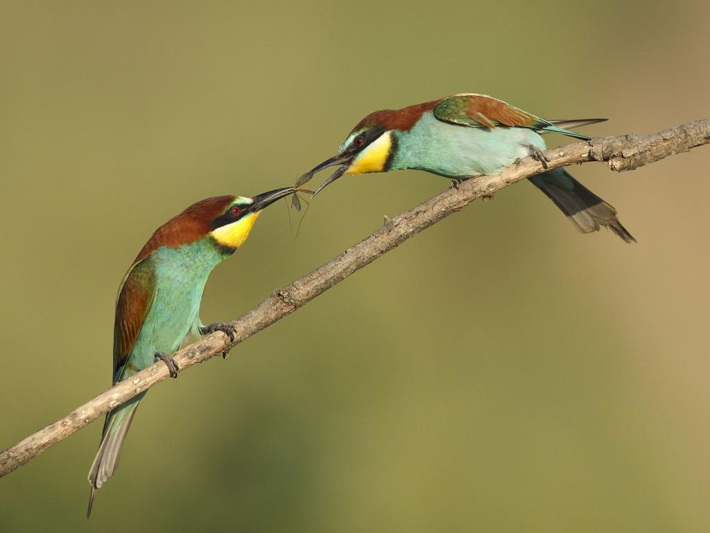 Bee-eater © Bogdan Andonov